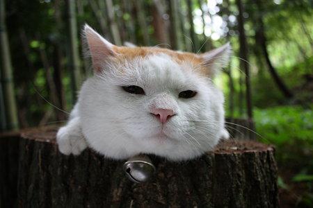 Shironeko (แมว)เน็ตไอดอล