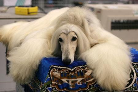 �ѿ�ѹ ��ǹ�� (Afghan Hound)