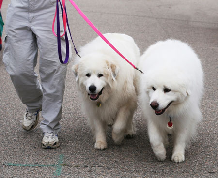 �÷ ��չ�� (Great Pyrenees)