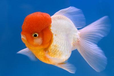 ปลาทองฮอลันดา