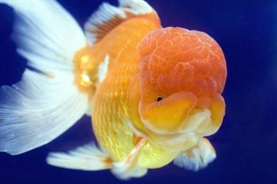5 wisarutauphen for Pesce oranda